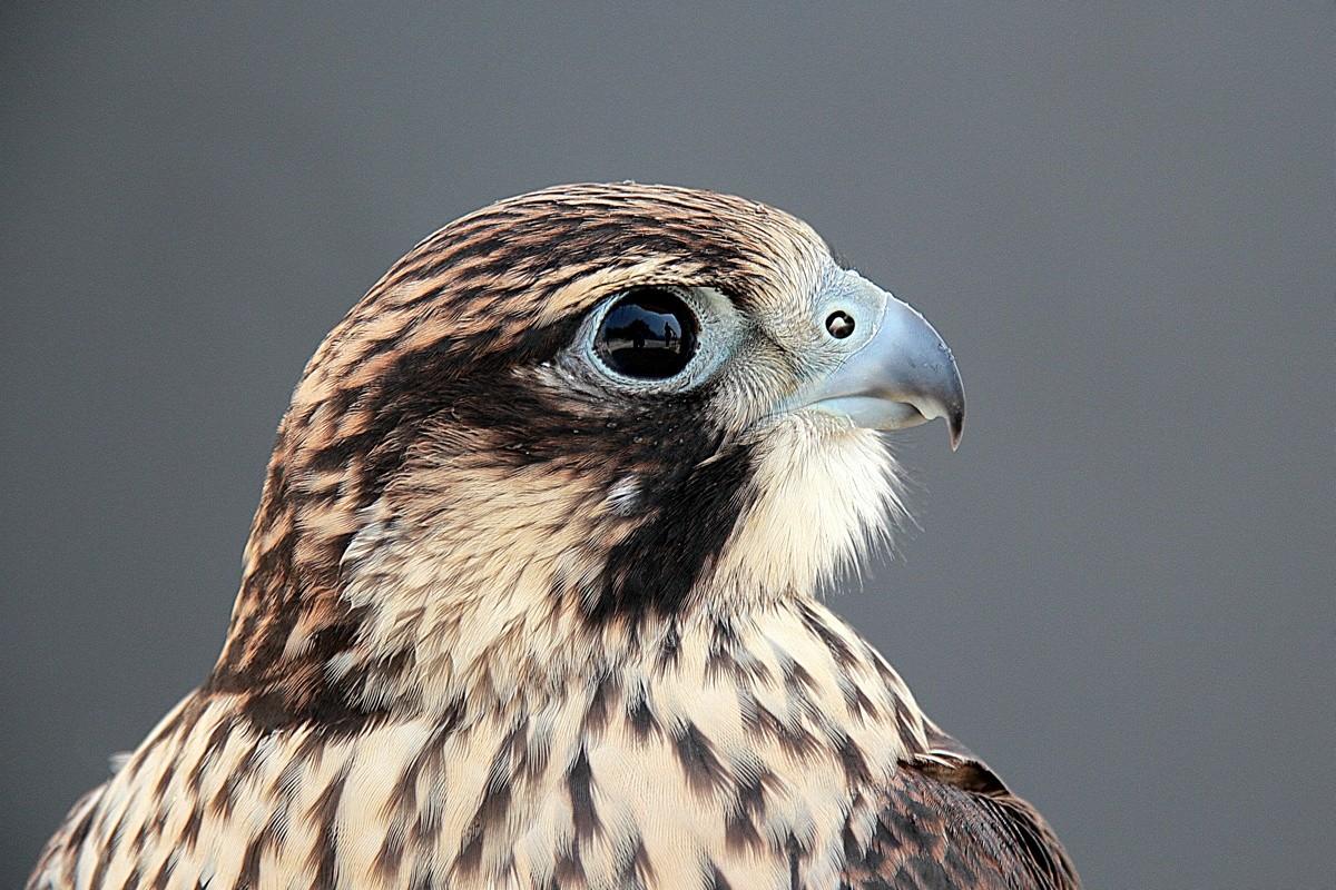 Malteser Falke