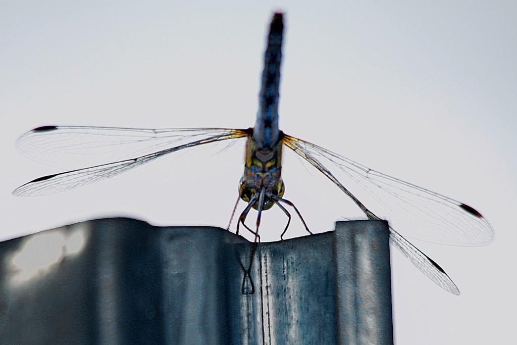Libelle unterm Bauch