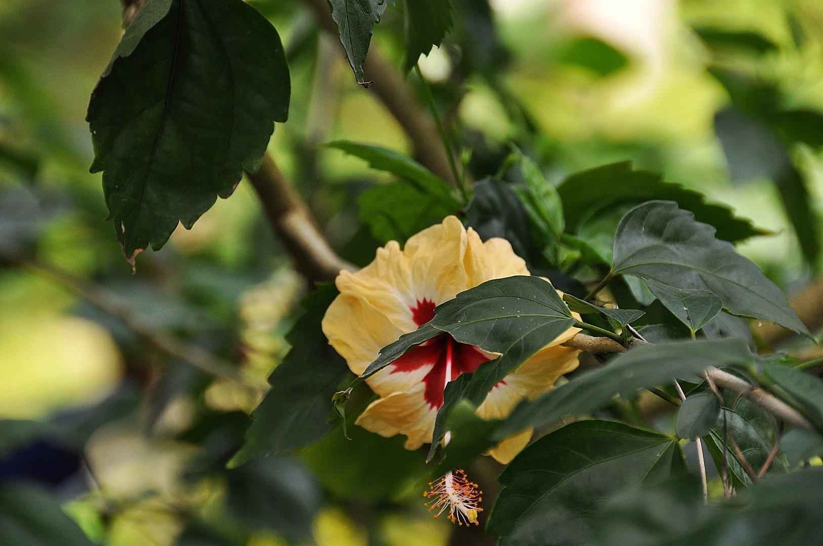 Interesting Hibiscus