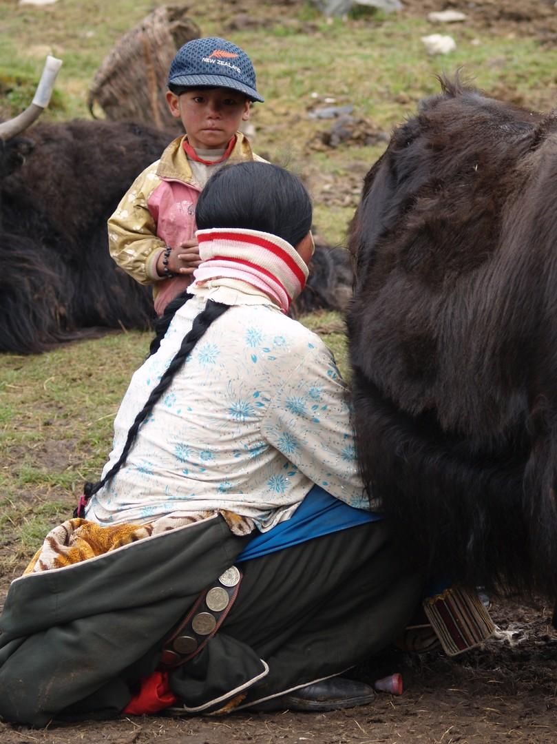 Traite d'une femelle yack