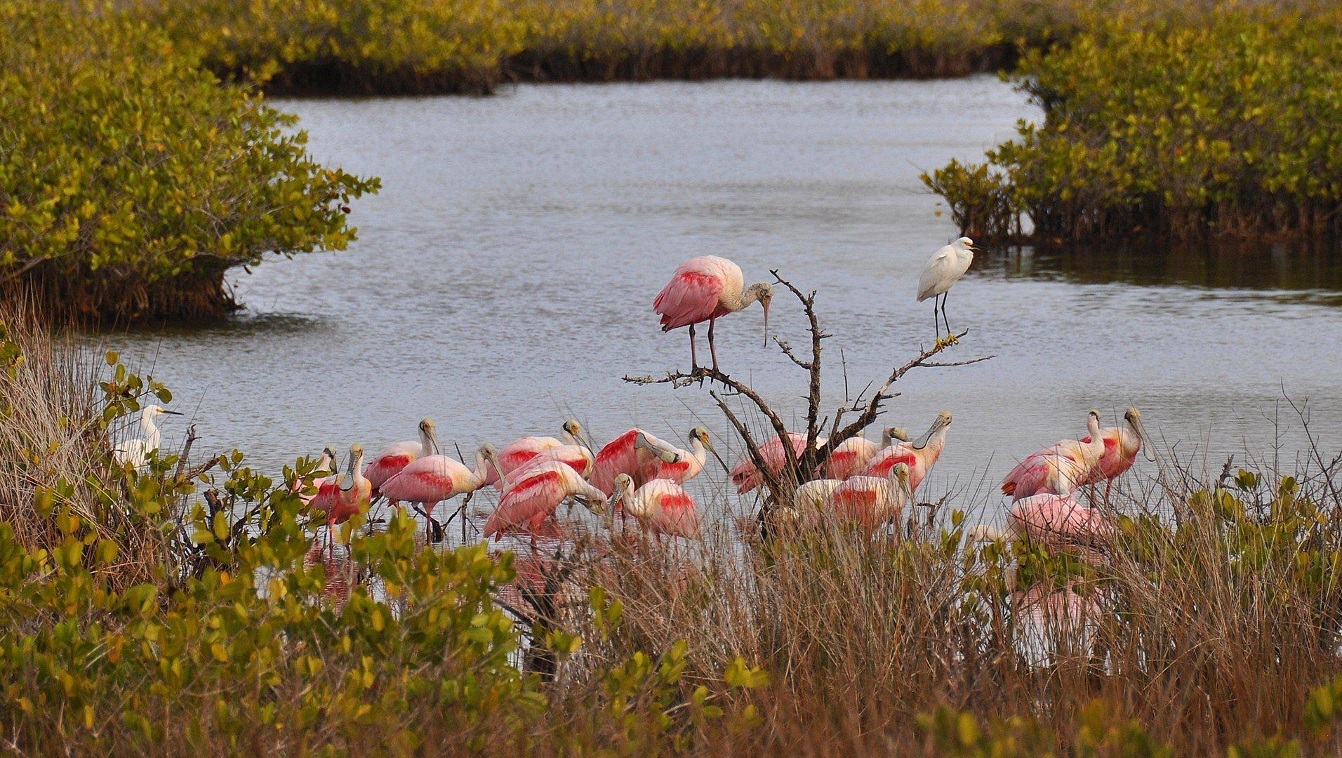 Flock of Roseate Spoonbill