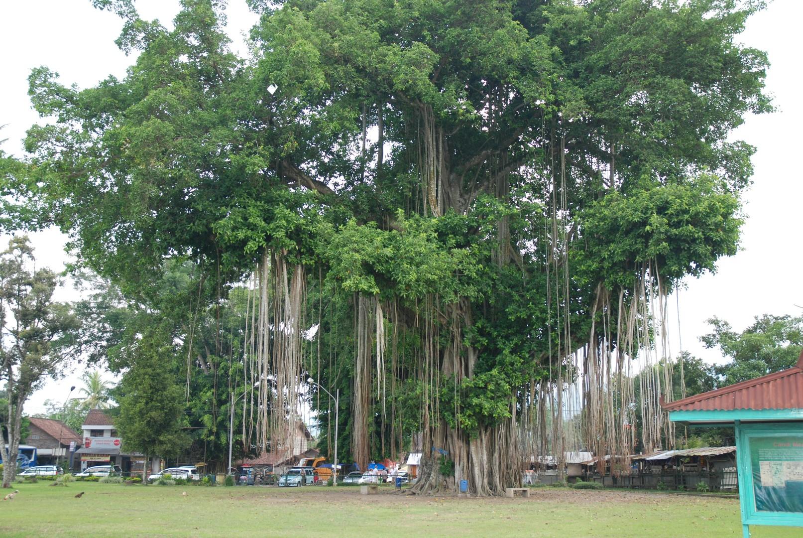 Ficus aux racines tombantes