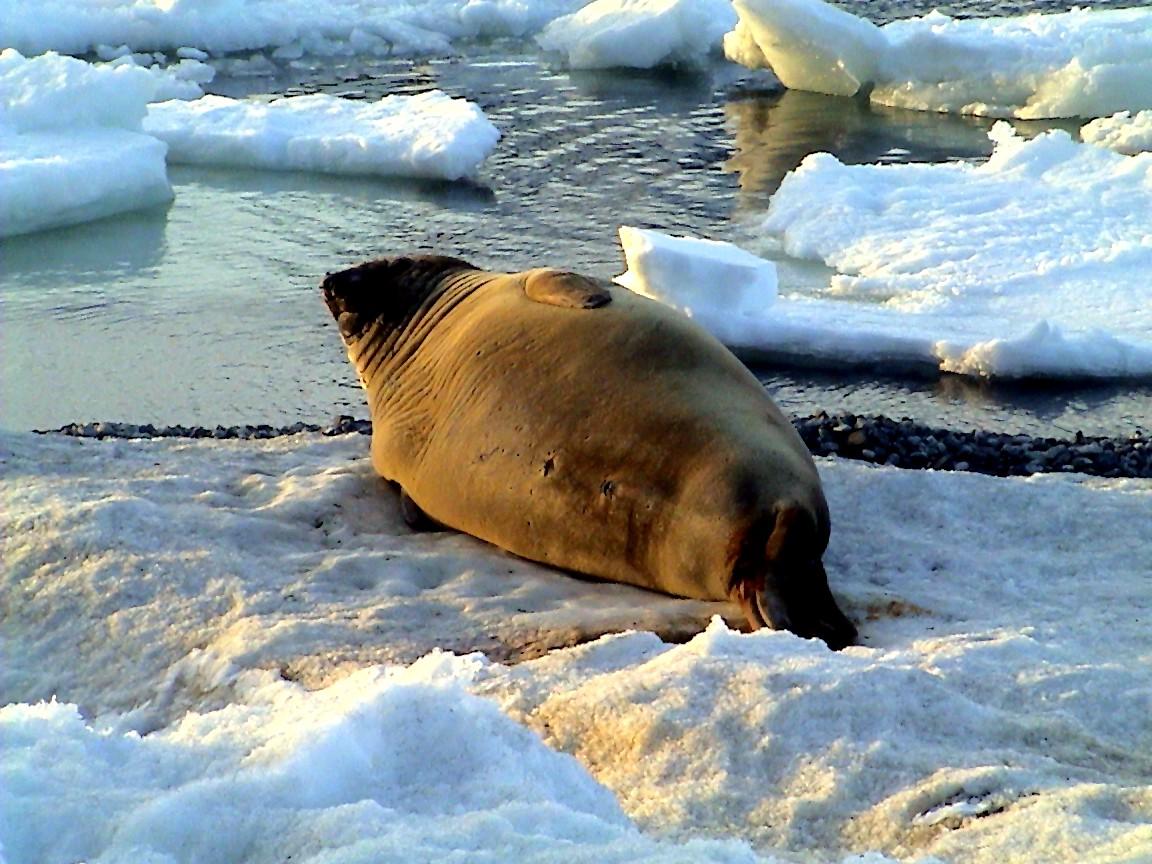 Junger Seeelefant döst ...