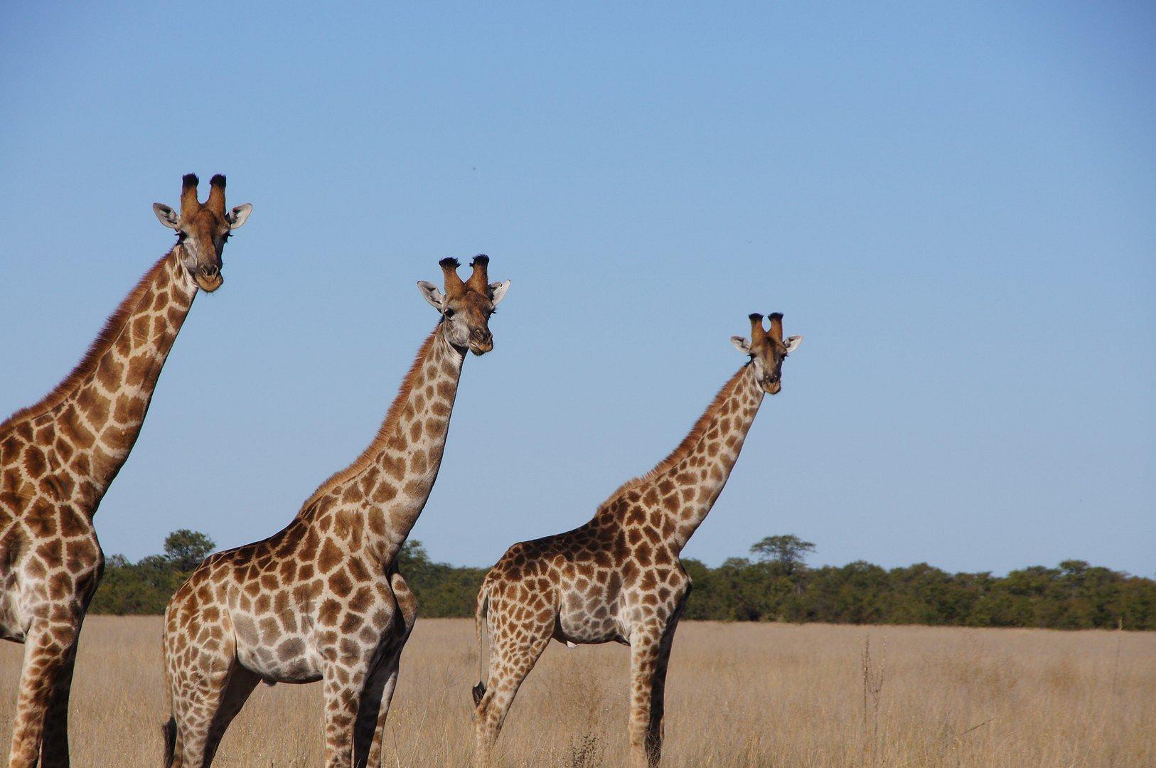 Les soeurs girafes