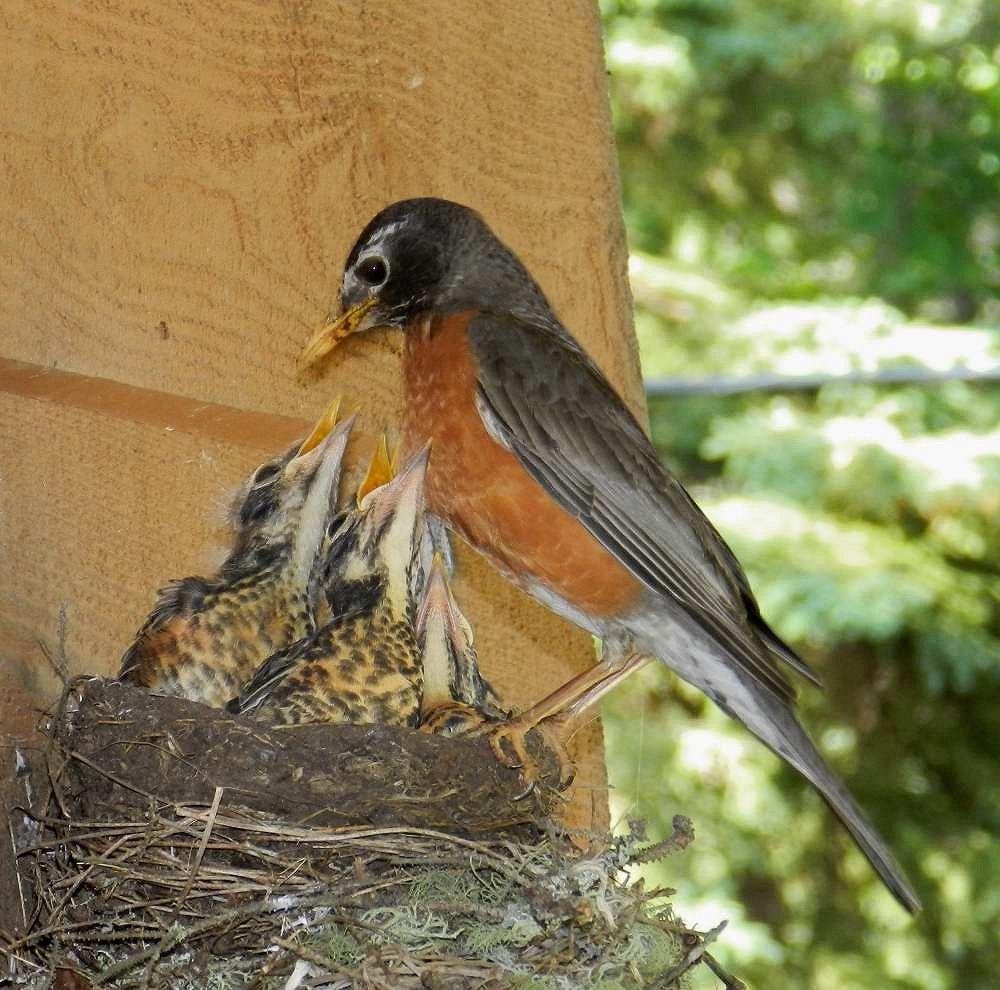 Canadian Robin feeding young