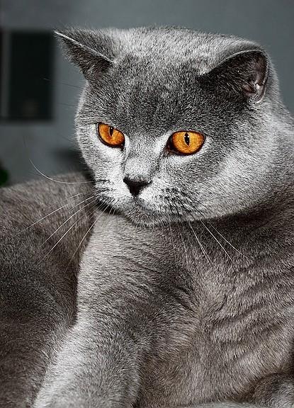 Sheba Katze